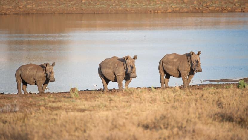 Breitmaulnashörner im Lewa Wildlife Conservancy in Kenia.