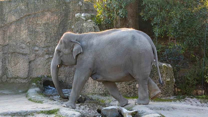 Asiatischer Elefant Farha im Kaeng Krachan Elefantenpark des Zoo Zürich.