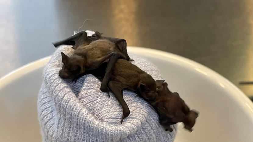 Junge Zwergfledermäuse in der Fledermaus-Notpflegestation.