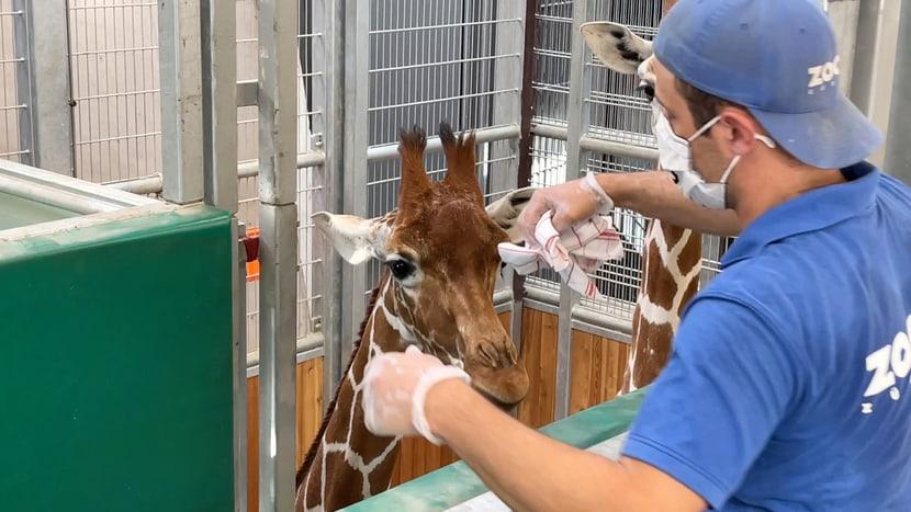 Tierpfleger Marco Brunner macht mit einem Tuch einen Abrieb bei einer Netzgiraffe. Das Tuch dient danach als Geruchsprobe.