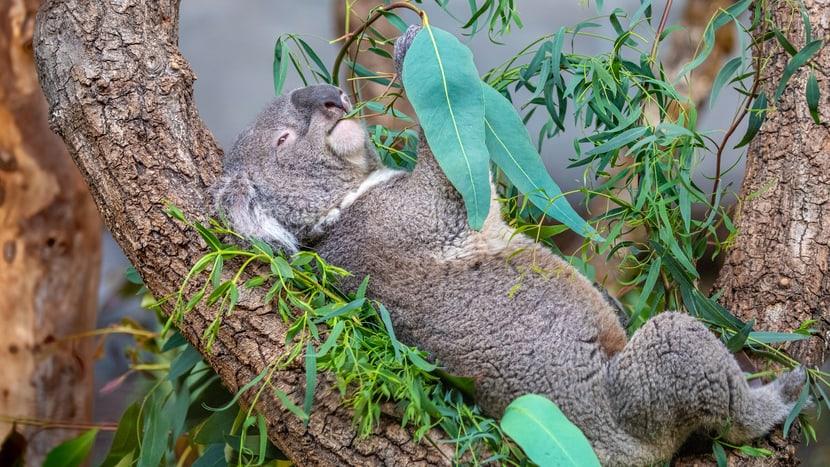 Koala Mikey Foto: Albert Schmidmeister