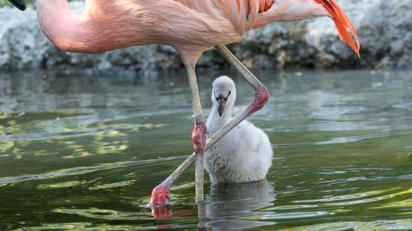 Junger Chile-Flamingo im Pantanal des Zoo Zürich.