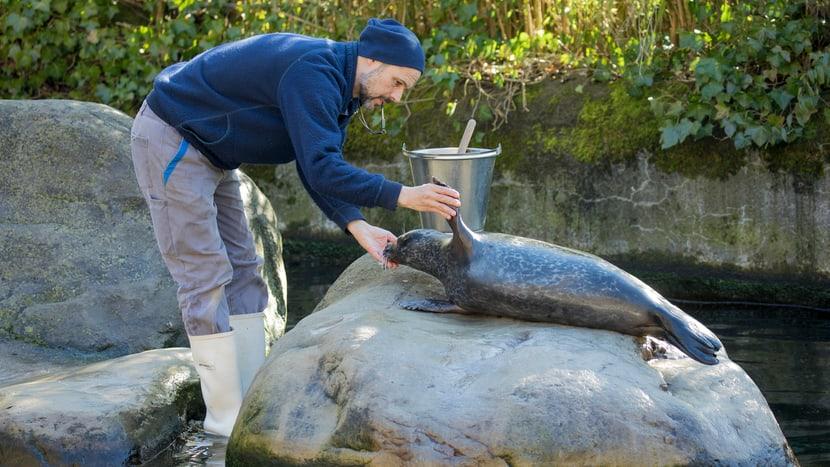 Medizinisches Training bei den Seehunden im Zoo Zürich.