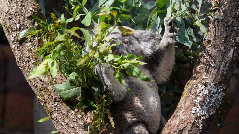 Koala mit Eukalyptus im Zoo Zürich.