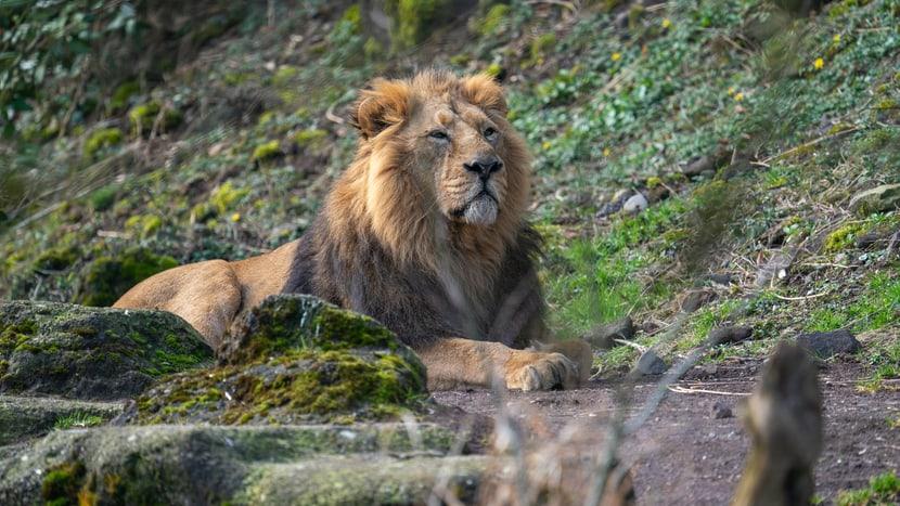 Asiatisches Löwenmännchen Radja im Zoo Zürich.