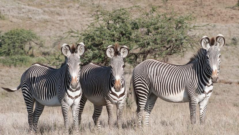 Grevyzebras im Lewa Wildlife Conservancy in Kenia.