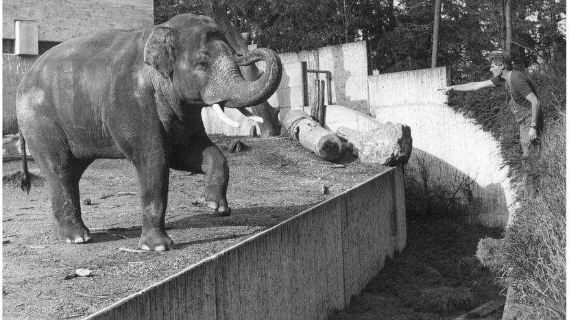Asiatischer Elefant Maxi mit Tierpfleger Ruedi Tanner.