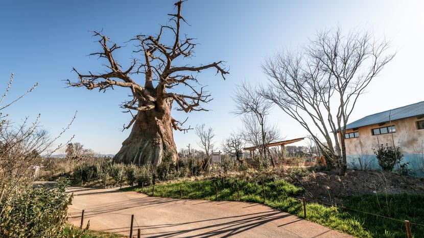 Grosser (Kunst-)Baobab im Lewa-Dorf.