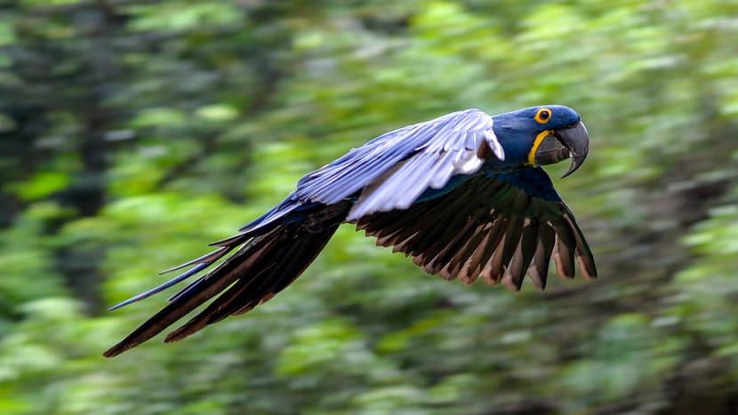 Eine der neuen Tierarten im Pantanal: der Hyazinthara.