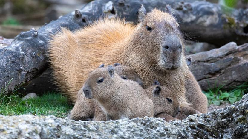 Junge Capybaras mit Mutter im Pantanal des Zoo Zürich.