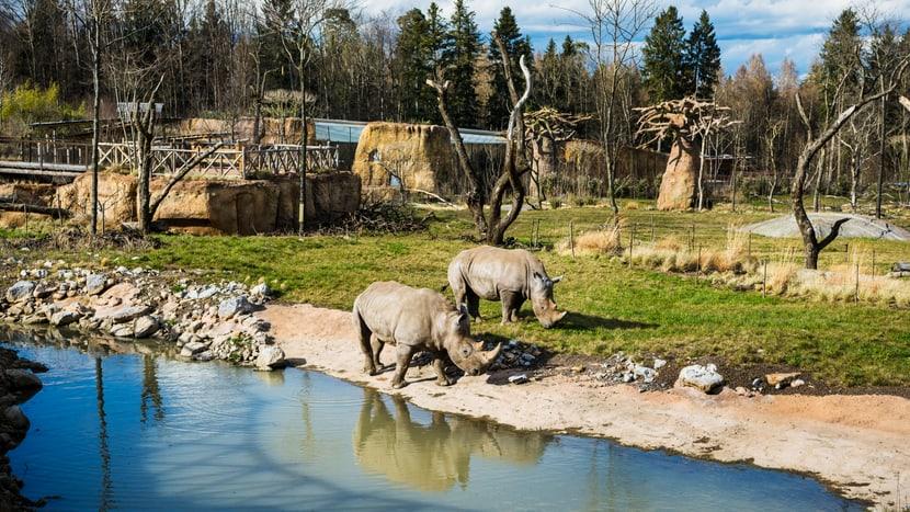 Breitmaulnashörner am Wasserloch in der Lewa Savanne im Zoo Zürich.