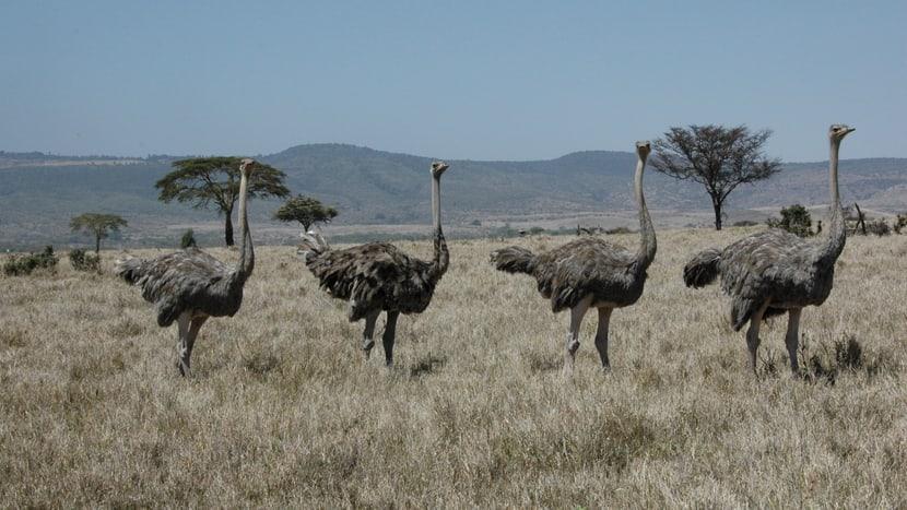 Strausse im Lewa Wildlife Conservancy in Lewa.