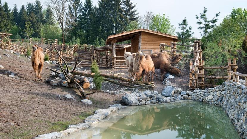 Trampeltiere in der Mongolischen Steppe des Zoo Zürich.