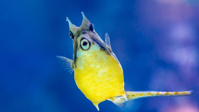 Gehörnter Kuhkofferfisch.