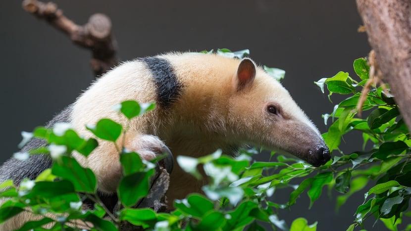 Südlicher Tamandua im Tierlexikon des Zoo Zürich.