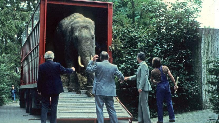 Elefant im Zoo Zürich 1981