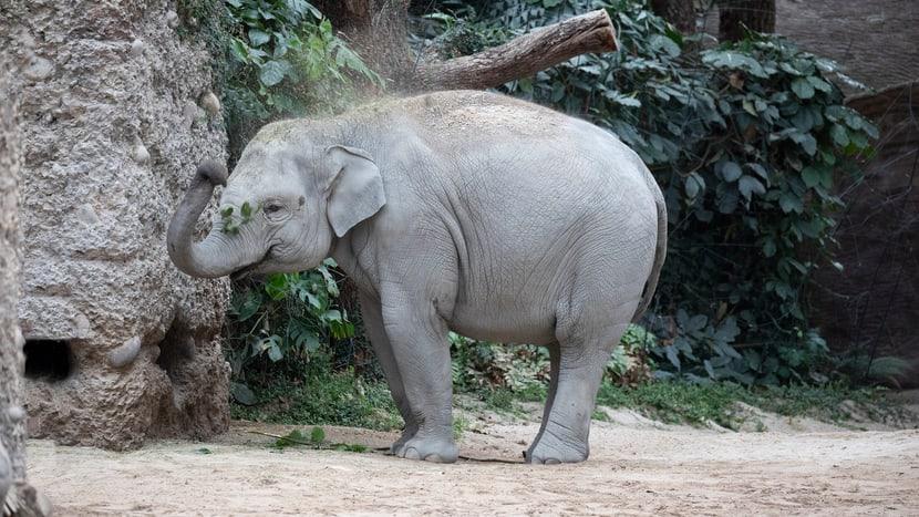 Asiatischer Elefant Omysha im Kaeng Krachan Elefantenpark des Zoo Zürich.