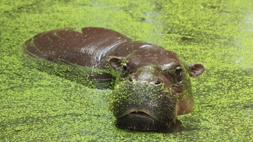 Eine der neuen Tierarten im Kongo: das Zwergflusspferd.