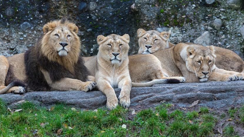 Indische Löwen im Gir Trockenwald im Zoo Zürich.