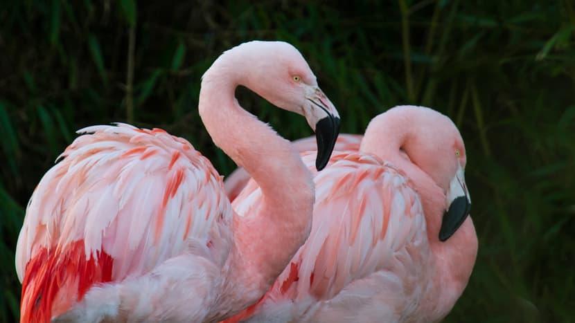 Chile-Flamingos im Pantanal des Zoo Zürich.