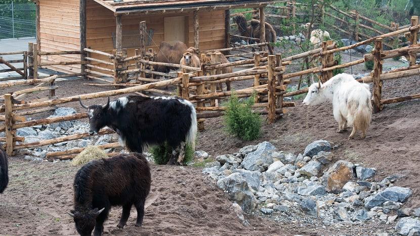 Hausyaks und Trampeltiere in der Mongolischen Steppe des Zoo Zürich.