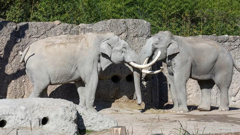 Asiatische Elefanten Maxi und Thai im Kaeng Krachan Elefantenpark im Zoo Zürich.