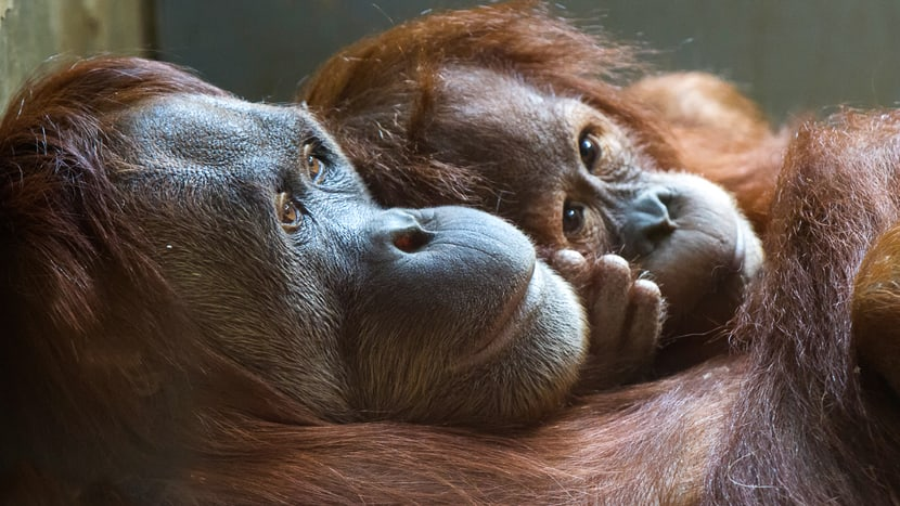 Sumatra-Orang-Utans Xira (l.) und Hadiah im Zoo Zürich.