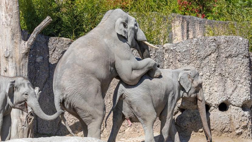 Kraftakt: Bulle Thai paart sich mit Indi.