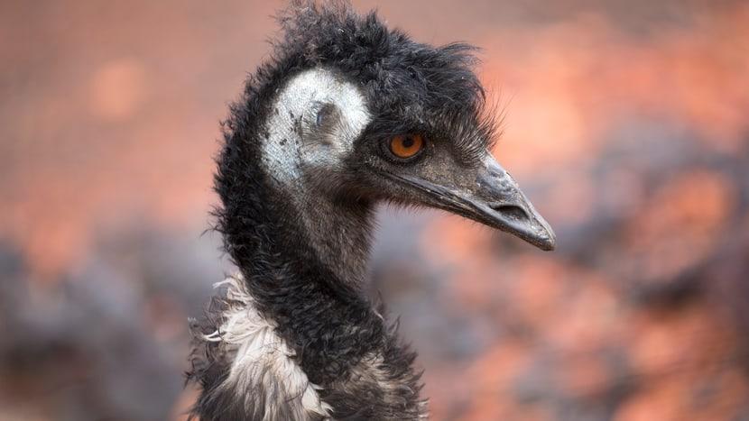 Emu in der Australienanlage des Zoo Zürich.