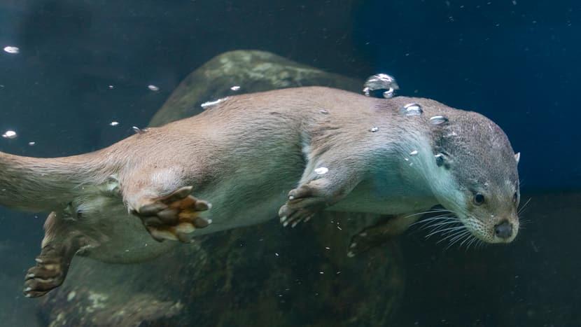 Europäischer Fischotter Tom im Zoo Zürich.