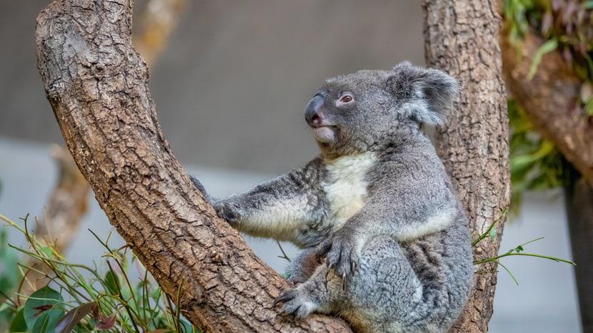 Koala Maisy im Zoo Zürich.