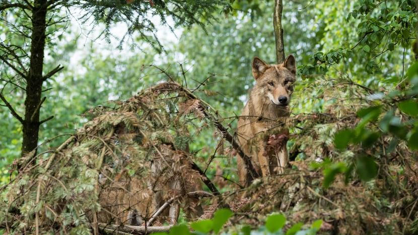 Mongolischer Wolf im Zoo Zürich.