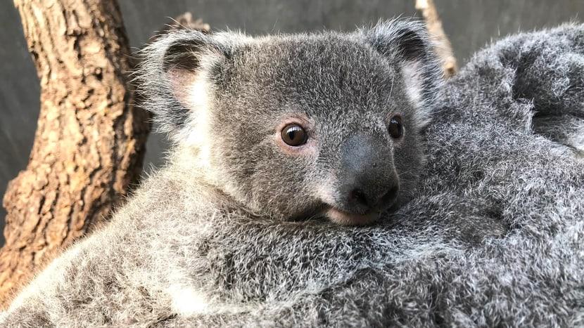 Koala Uki. Bild: Philipp Lederle