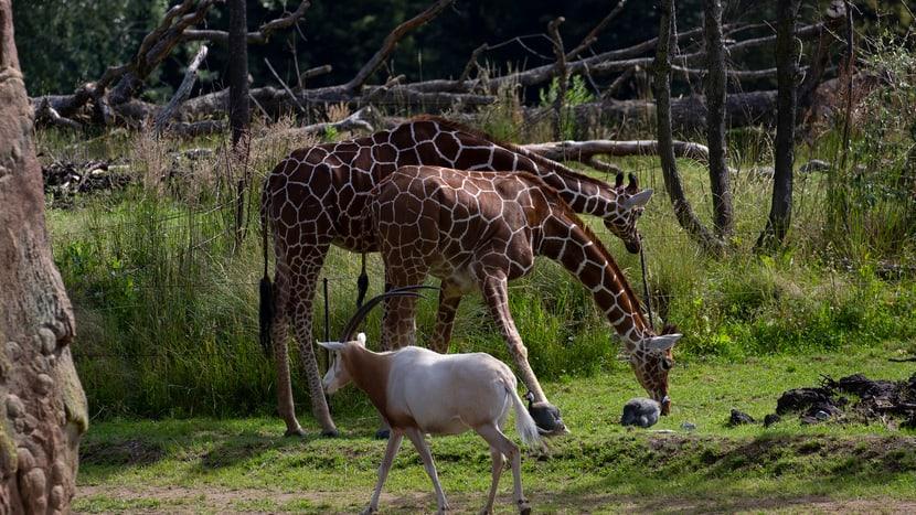 Säbelantilope und Netzgiraffen in der Lewa Savanne des Zoo Zürich.