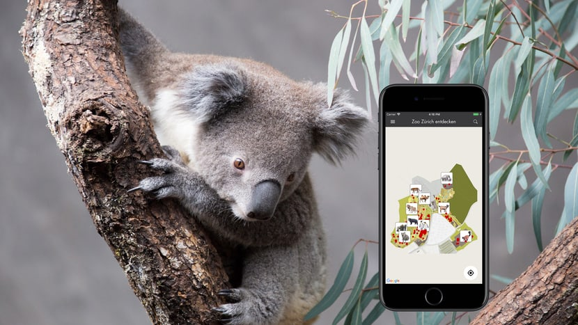 Koala im Zoo Zürich & Zoo-App