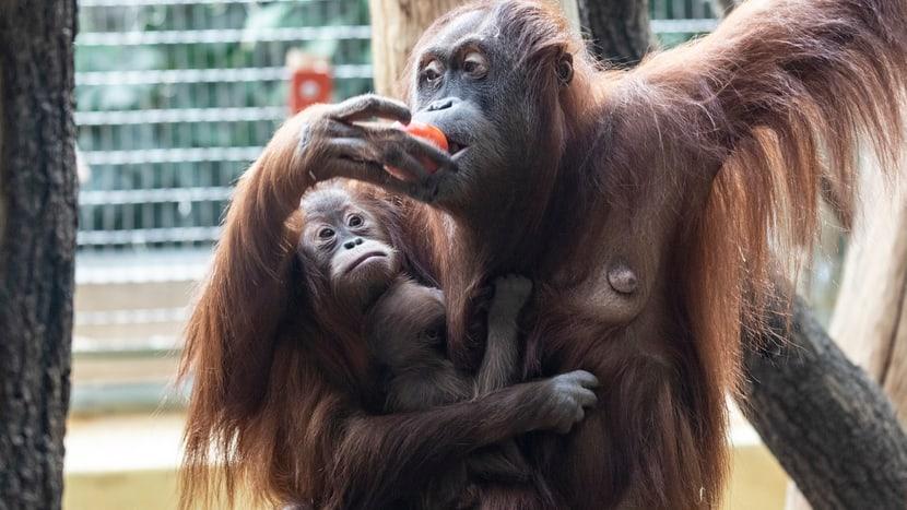 Sumatra-Orang-Utan Cahaya mit Jungtieren Riang und Utu im Zoo Zürich.
