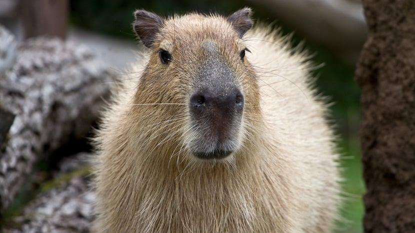 Capybara im Pantanal des Zoo Zürich.