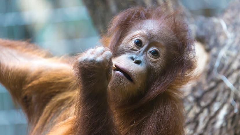 Sumatra-Orang-Utan Mimpi im Zoo Zürich.