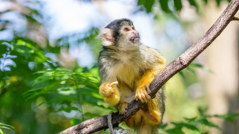 Totenkopfäffchen im Pantanal des Zoo Zürich.