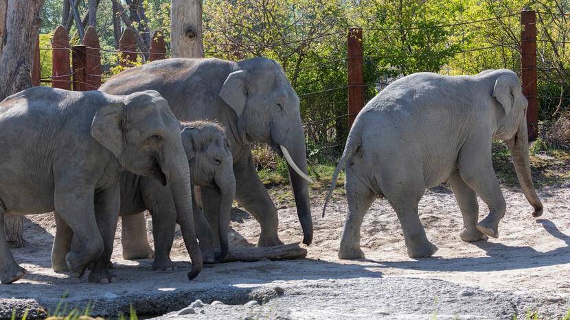 Asiatische Elefanten in der Aussenanlage des Kaeng Krachan Elefantenparks im Zoo Zürich.