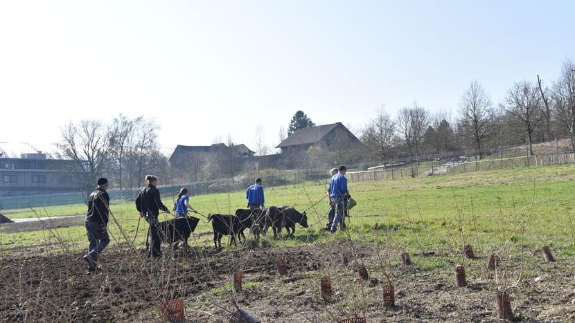 Umzug der Dahomey-Rinder vom Savannenstall zur Weide.