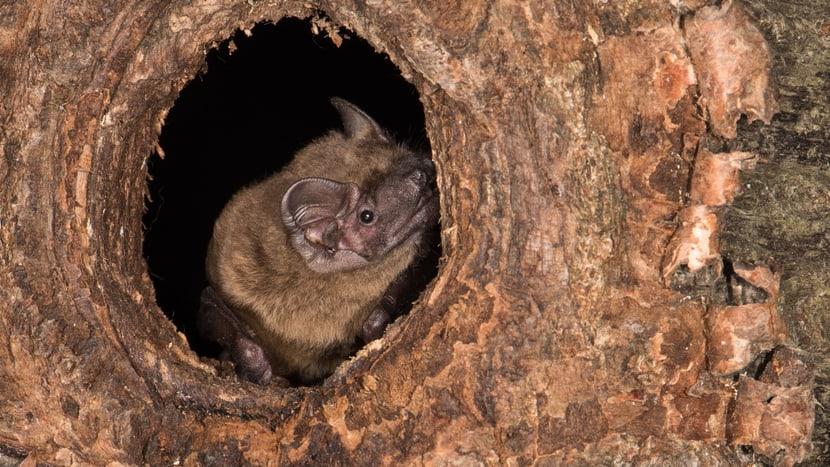 Grosser Abendsegler in Baumhöhle