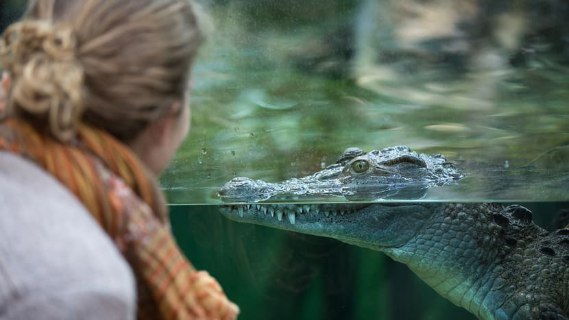Philipinen-Krokodil im Zoo Zürich.