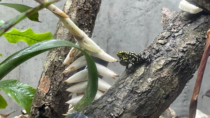 Ein Harlekin-Baumsteiger-Männchen bei der Balz.