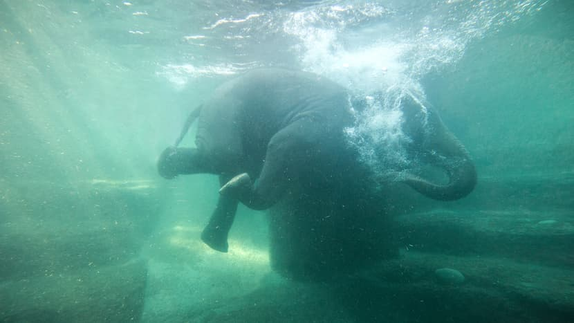 Schwimmender Elefant Farha im Kaeng Krachan Elefantenpark des Zoo Zürich.