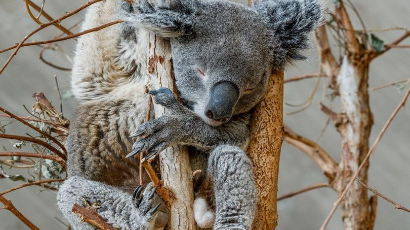 Bildauszug aus dem Buch Habitat, Koala.