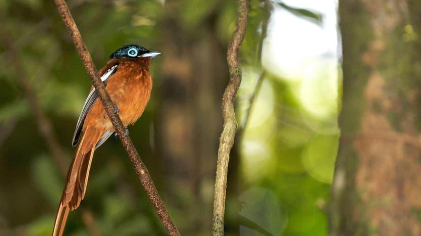 Paradiesschnäper im Masoala Nationalpark.