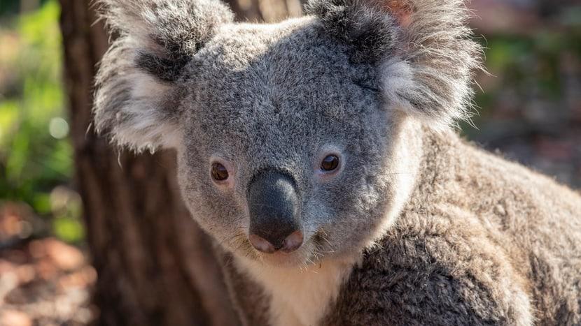 Koala Milo im Zoo Zürich.