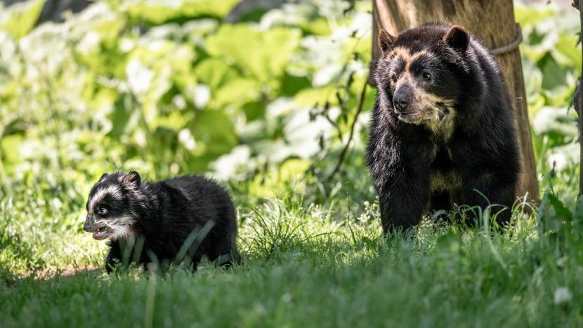 Brillenbärin Cocha (r.) mit ihrem Jungtier Uyuni.