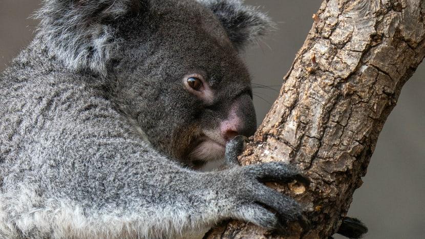 Koala Pippa im Zoo Zürich.